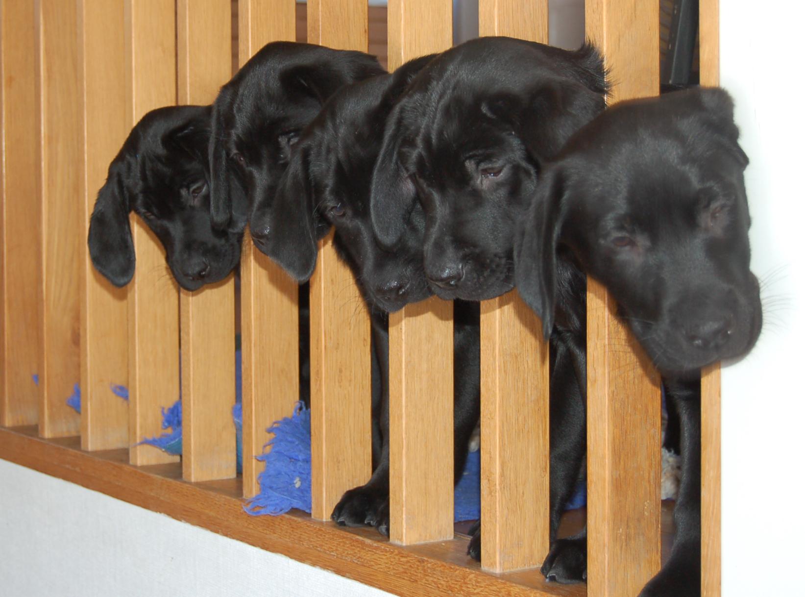 Våra labradorvalpar. Foto: Madeleine Lewander