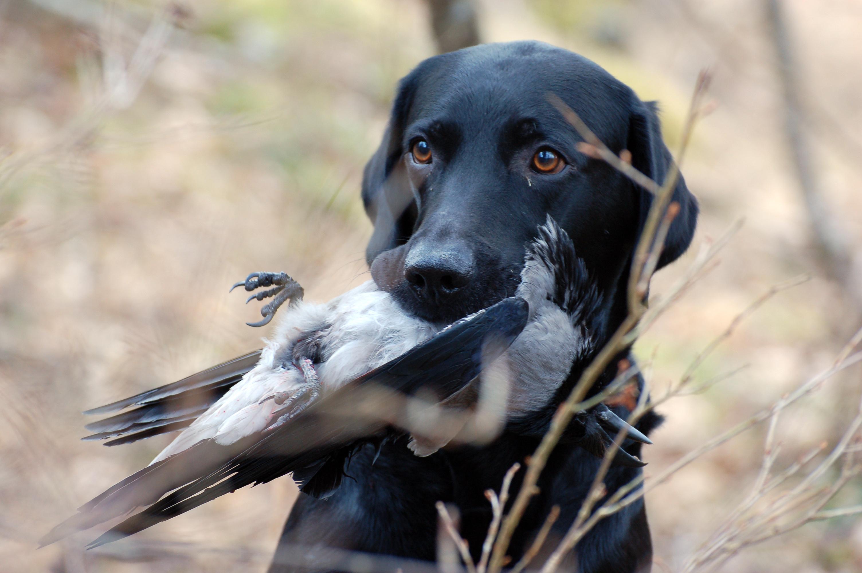 Jaktlabrador med apporterad kråka. Foto: Madeleine Lewander