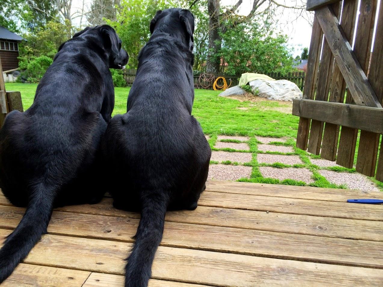 Två jaktlabradorer på verandan.