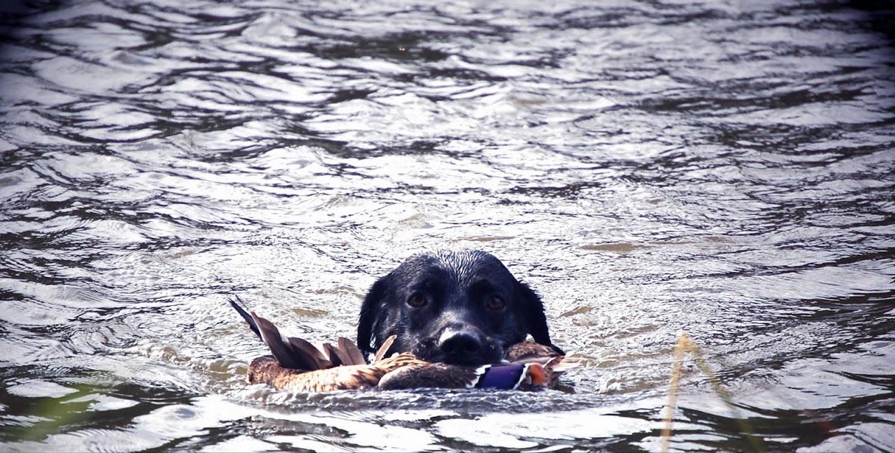 Argo apporterar nyskjuten and. Foto: Madeleine Lewander
