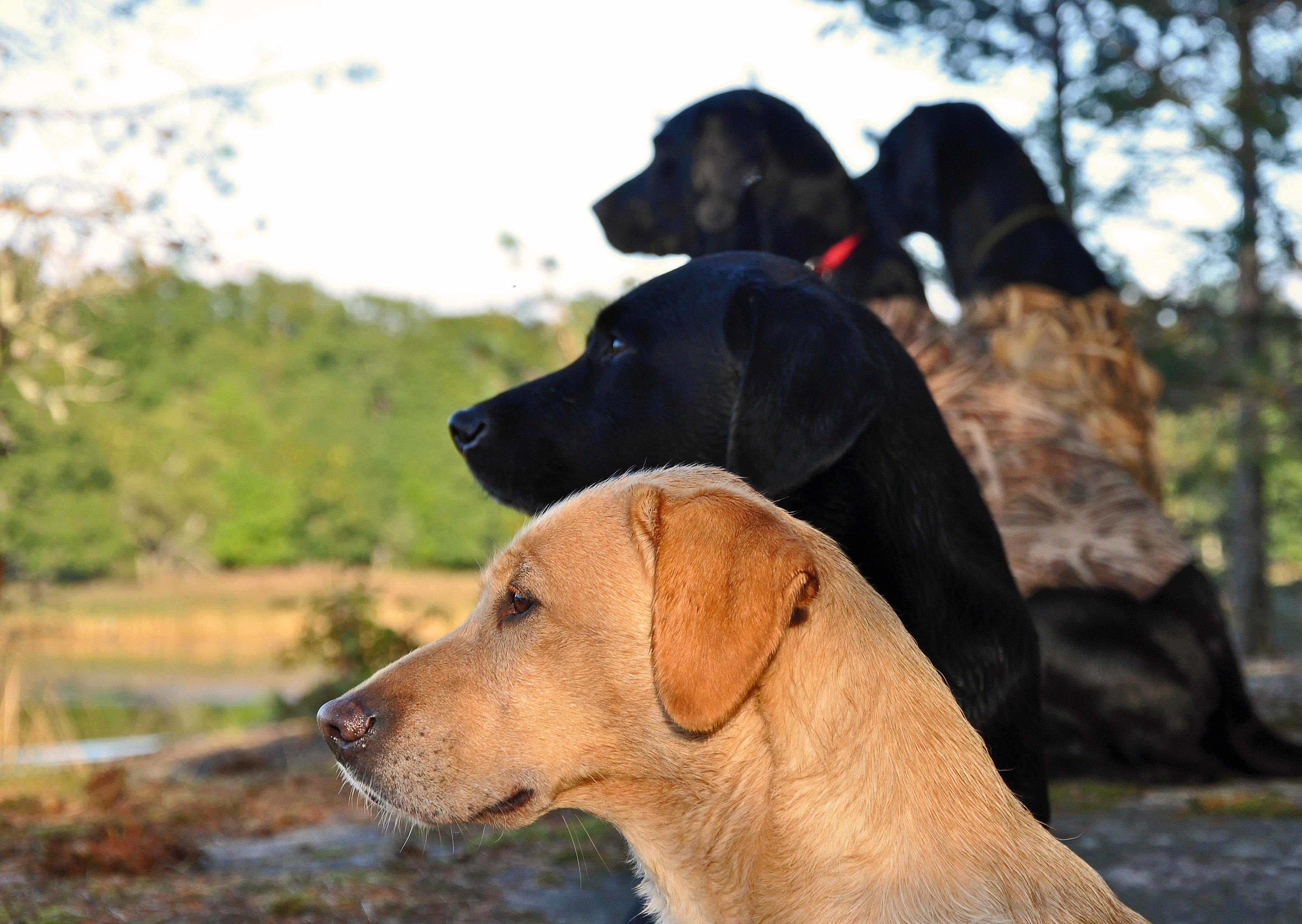 Väntan. Våra labbar längst bort. Två Perdixhundar närmast. Foto: Madeleine Lewander