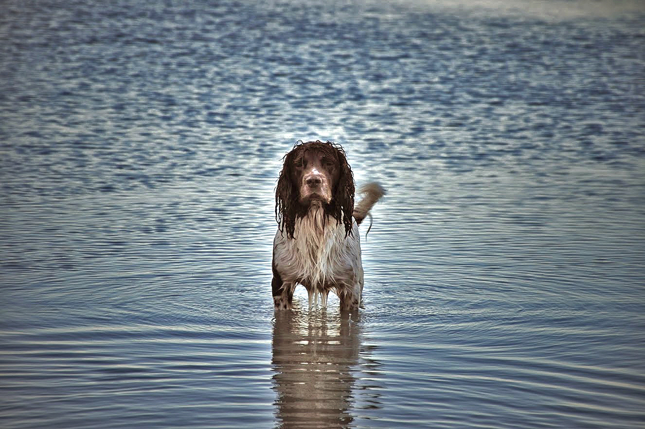 spaniel_vatten